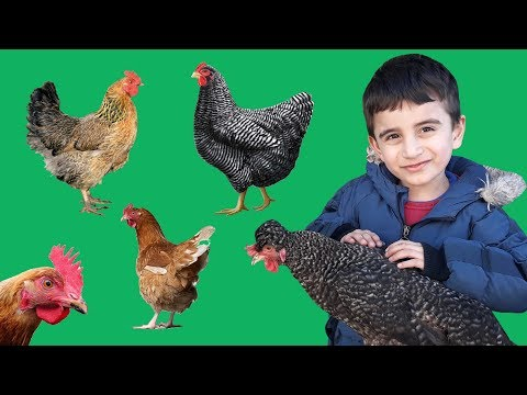 Tavuklar Kaçıyor Zeynep Ve Süleyman Tavukları Yakalamaya Çalışıyor Funny Kids Video