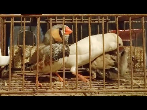 diamantes-mandarines-gigantes-alimentando-a-sus-pollos-|-aviario-aviachy