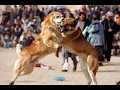 Best Fighting Dogs In The World - Game Dogs [Mr Friend]
