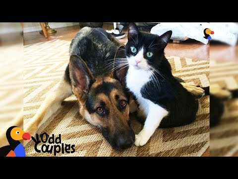 Cat's Baby Brother Is A Big Dog — And They're Best Friends - ALVIN & BARON | The Dodo Odd Couples