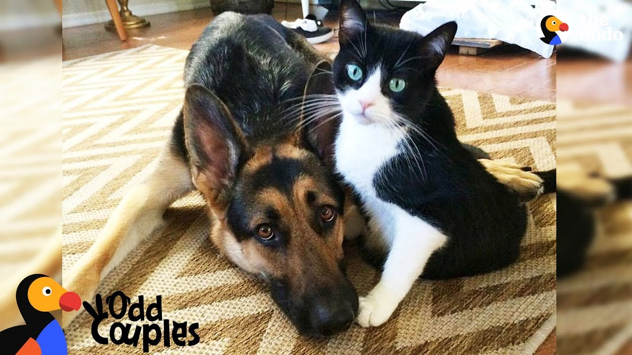 Animal Odd Couples Youtube cat's baby brother is a big dog — and they're best friends - alvin & baron  | the dodo odd couples