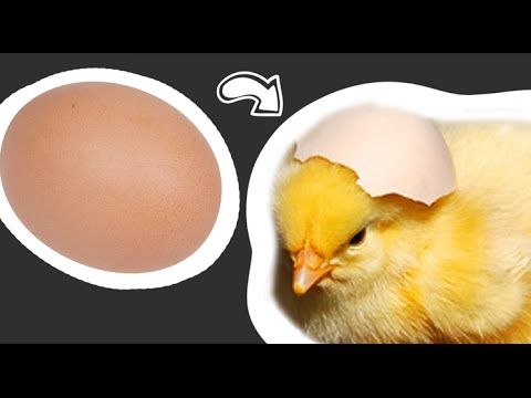 From Egg to Chick