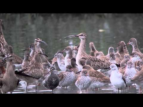 Whimbrels (Breed)