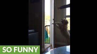 Wheaten Terrier learns how to open and close doors