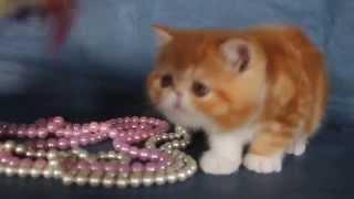 экзотические короткошерстые котята.