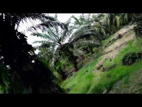 Cara mudah menemukan Sarang kacer di pohon sawit