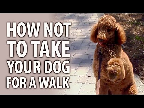 How Not To Take Your Dog For A Walk - Cute Dog Standard Poodle Video