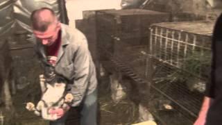 Обучающее видео: искусственное осеменение группы крольчих (В.И. Лисин)