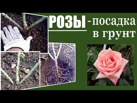 Посадка роз в грунт. Как сажать розы
