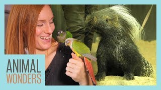 Green Cheek Conures & African Crested Porcupine Hangout!
