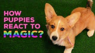 「ワ、ワワン…!(き、消えた…!)」初マジックに困惑する犬