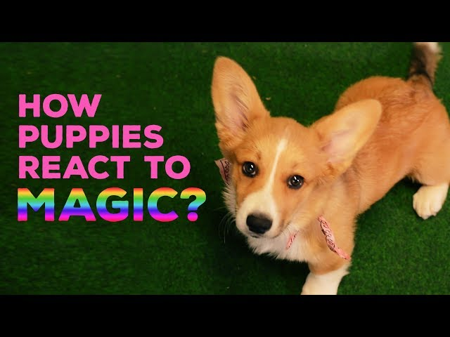 How Puppies React to Magic? Part 1