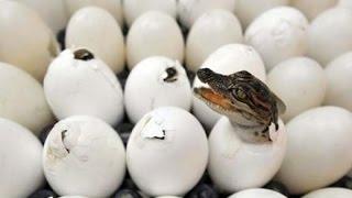 Amazing! Crocodile Giving Birth in Nature | Wild Animal | Baby Crocodile