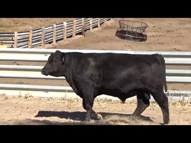Connealy Angus Lot 64