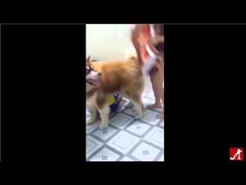 [HYChóMèo]Chú cún đáng yêu bênh vực chủ bị đánh :33