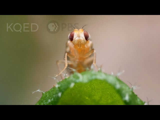 Leaf Miner Fly Babies Scribble All Over Your Salad | Deep Look