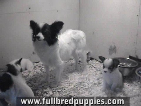 Papillon Puppies For Sale Youtube