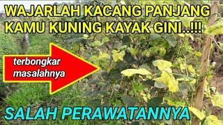 Pengendalian penyakit kuning pada tanaman lada harus dilakukan sesegera mungkin karena jika ditunggu.