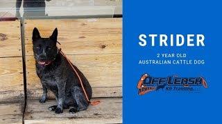2 year old Australian Cattle Dog (STRIDER) | Incredible Transformation | Best Arkansas Dog Training