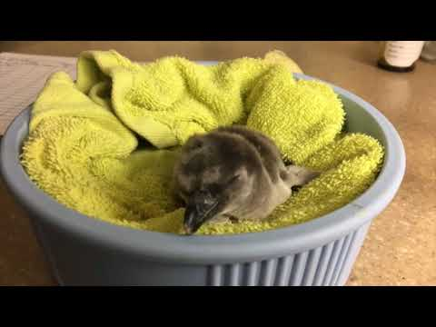 Oregon Zoo's first penguin chick of season hatches