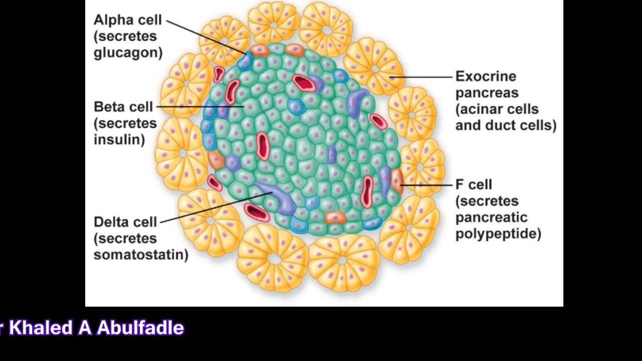 Hormones secreted by pancreas (3-2014) by Dr Khaled A ...