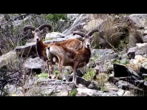 Ovis orientalis (Cyprian Wild Sheep, Cyprus Mouflon) by George Konstantinou