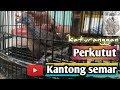Perkutut Kantong Semar  Mp3 - Mp4 Download