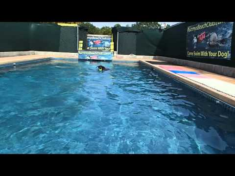 Funny!  Doberman Pinscher Bubba Sue Swims in swimming pool for dog toys in Red Halloween costume