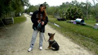 Puppy Training German Shepherd Rambo Dogtra E Collar