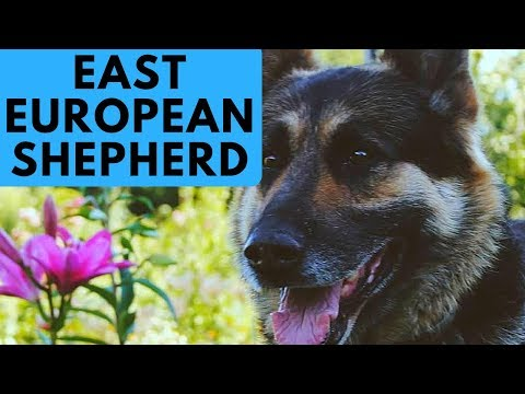 East European Shepherd Dog Breed - German Shepherd Difference