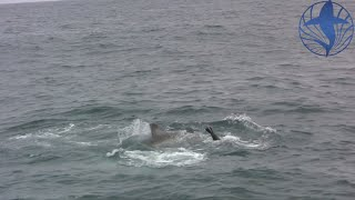 great white vs cape seal see what happens next