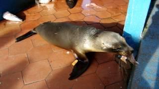 ガラパゴスの魚市場でおこぼれに与るアシカ