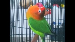 LOVE BIRD CEREWET NGEKEK PANJANG !!!Aksi Love Bird Latah