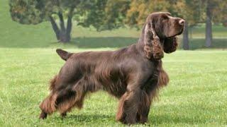 Field Spaniel  medium size dog breed