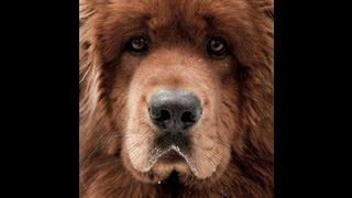Photo tibetan mastiff / Тибетский мастиф
