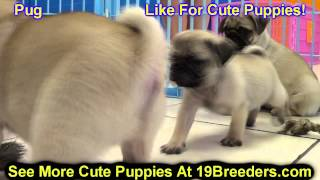 Pug, Puppies, For, Sale, In, Kearney, Nebraska, Ne, Fremont, Hastings