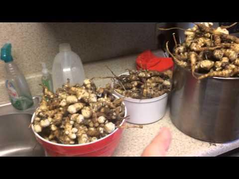 2014 Jerusalem Artichoke Harvest