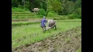 Membajak sawah secara tradisional