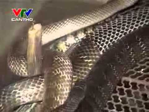 kỹ thuật nuôi 0913652002  rắn Ri Voi 2