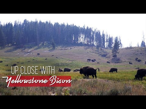 Up close with Yellowstone's Bison herd - Full-time RV Travel