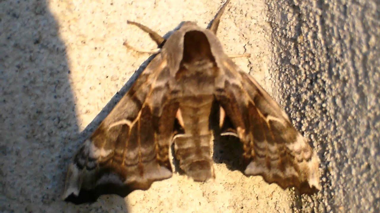 Papillon de nuit sorte ind termin youtube - Gros papillon de nuit dangereux ...