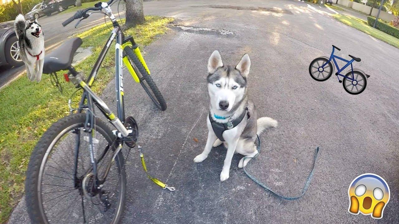 My Husky goes Biking! - Gohan LOVES Bikejoring!