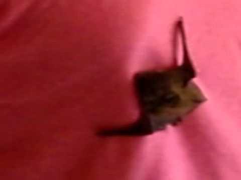 pipistrello baby  domestico