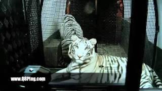شيخه اماراتية تربي الاسود والنمور في منزلها