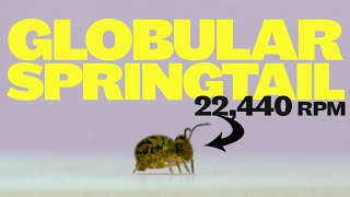 Globular springtails jump and spin faster than any animal on earth?!
