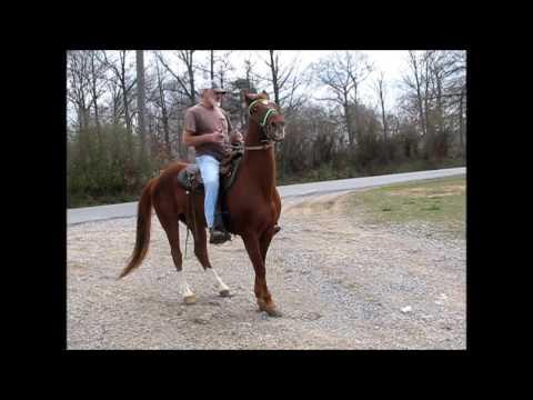 Racking Horse sorrel gelding