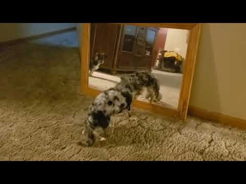 Tiny Dog Confused by Reflection - 1053817