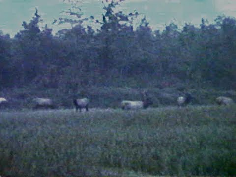 1984 Elk Atlanta MI UP TRIP - BEARS in SPARR MI MORE ELK - John Steve