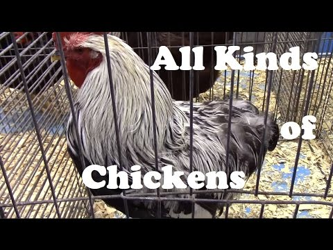 lots-of-different-chicken-breeds-from-ameraucana-to-wyandotte.