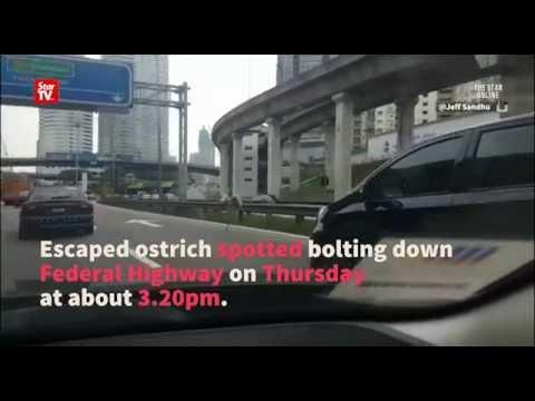 Ostrich sprints down Federal Highway